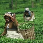 Tea_plucker_Srilanka